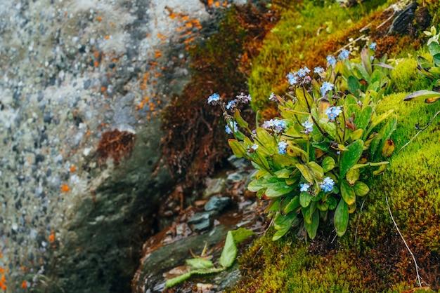 Wiele małych niebieskich kwiatów myosotis na omszałych kamieniach.