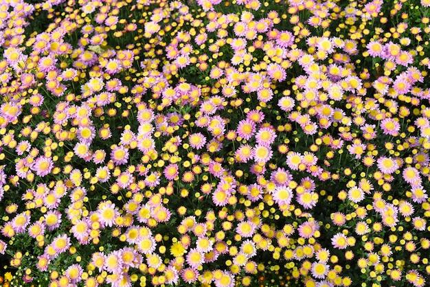 Wiele małych różowych chryzantem z bliska