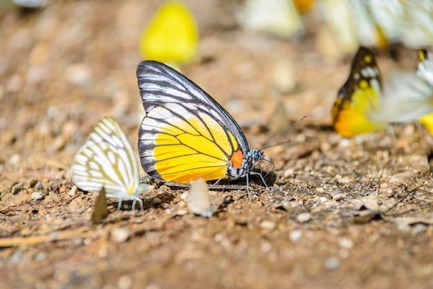 Wiele motyle pieridae zbierania wody na podłodze