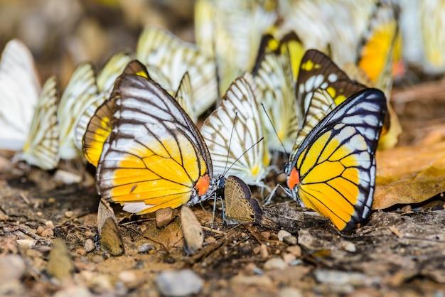 Wiele motyli pieridae gromadzących wodę na podłodze