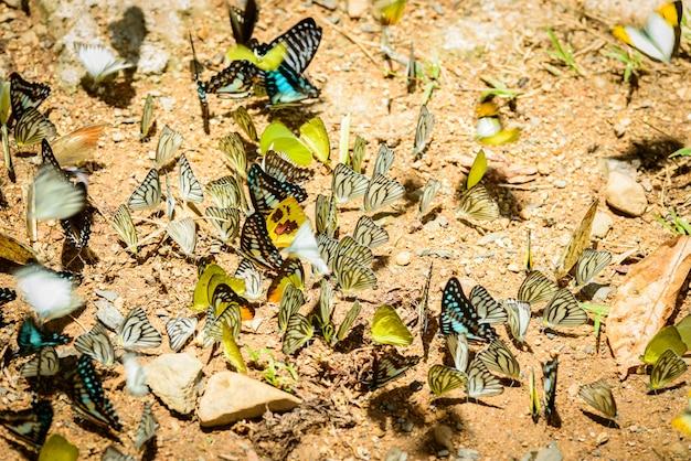 Wiele motyli pieridae zbierających wodę na podłodze, motyle karmią minerały w słonym bagnie w lesie