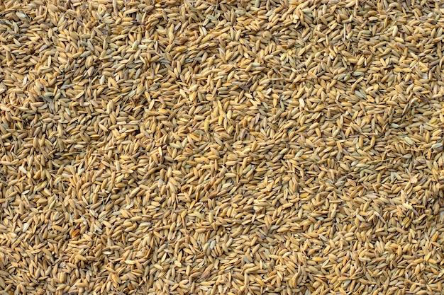 Wiele nasion ryżu niełuskanego.