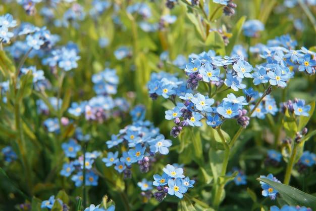 Wiele pięknych niebieskich kwiatów myosotis arvensis