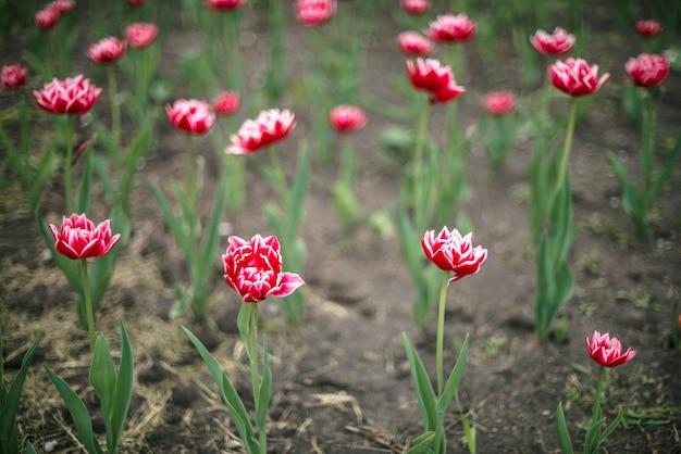 Wiele pięknych różowych tulipanów kwiat na zielonym tle.