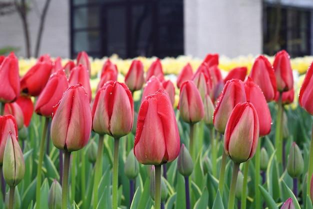 Wiele pięknych tulipanów w ogrodzie w holandii.