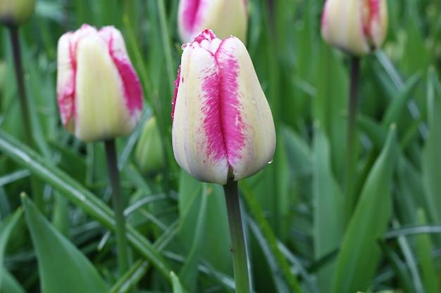 Wiele pięknych tulipanów w ogrodzie.