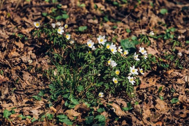Wiele pięknych wczesnowiosennych kwiatów w przyrodzie w parku maksimir
