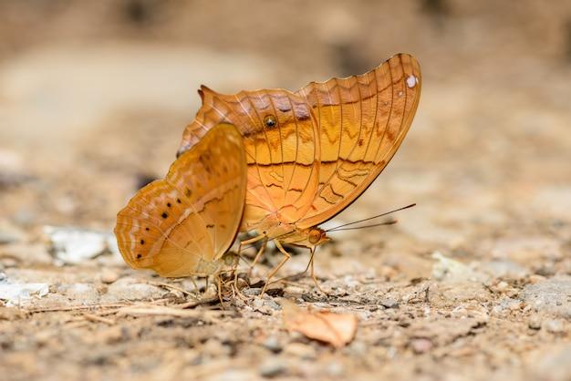Wiele pieridae motyli zbierających wodę na podłodze