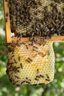 Wiele pszczół pracuje na plastrach miodu, w pasiece, z bliska.