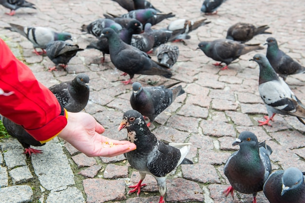 Wiele ptaków gołębie karmiące się z kobiecej ręki na miejskim placu