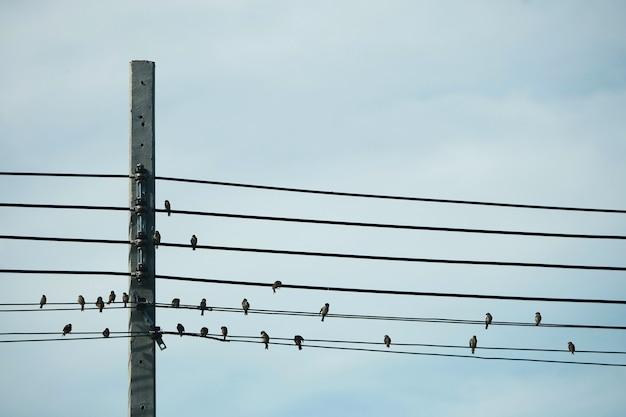 Wiele ptaków siedzi na przewodach elektrycznych