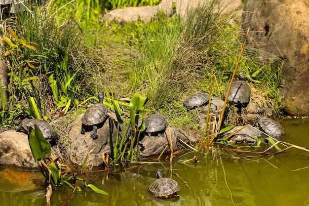 Wiele różnych rozmiarów żółwi w różnych pozycjach do opalania na brązowej skale w bagnistym stawie i zielone rośliny w tle
