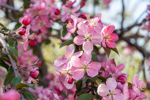 Wiele różowych kwiatów na kwitnących gałęziach drzew owocowych w ogrodzie