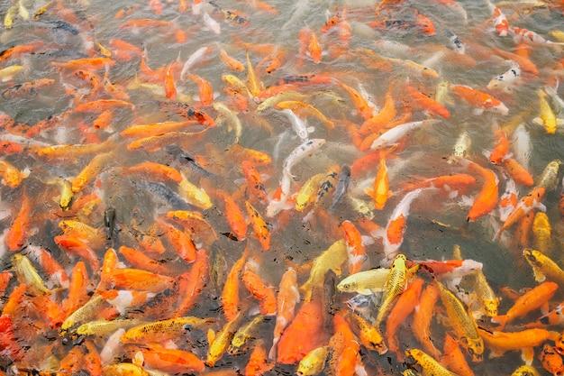 Wiele ryb karpi pływających w stawie