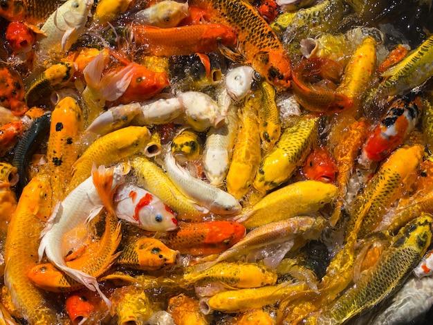 Wiele ryb koi czeka na jedzenie w stawie