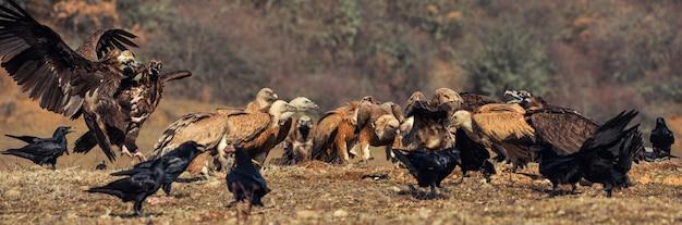 Wiele sępów płowych (gyps fulvus) i sępów rogowatych (aegypius monachus).