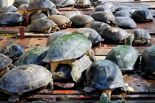 Wiele słodkowodny żółw na drewnianej tratwie przy rzeką.
