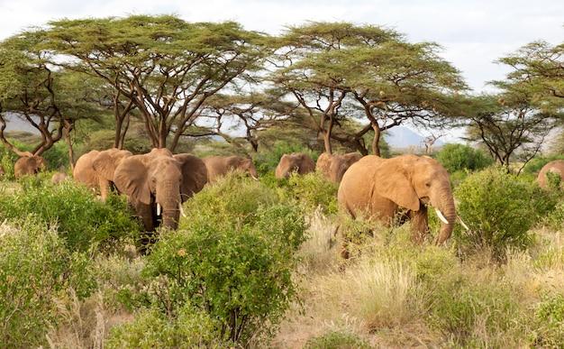 Wiele słoni przechodzi przez krzaki w dżungli