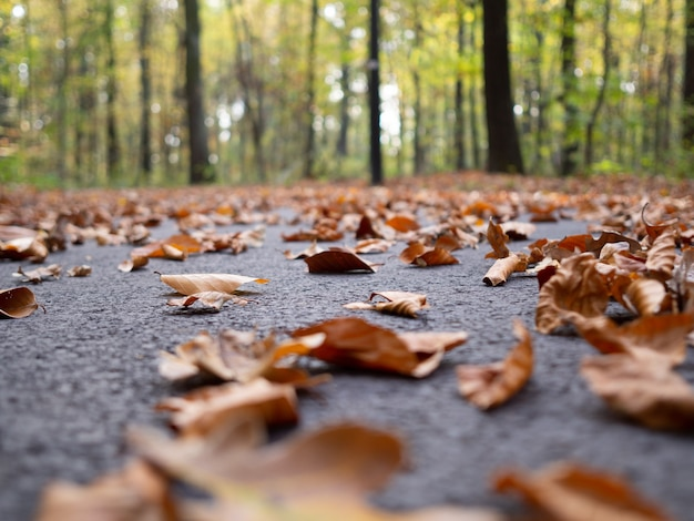 Wiele suchych jesiennych liści klonu spadło na ziemię w otoczeniu wysokich drzew