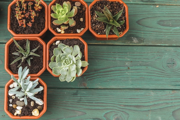 Wiele sukulentów w małych doniczkach na drewnianym stole