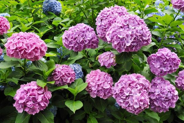Wiele świeżych kwiatów hortensji