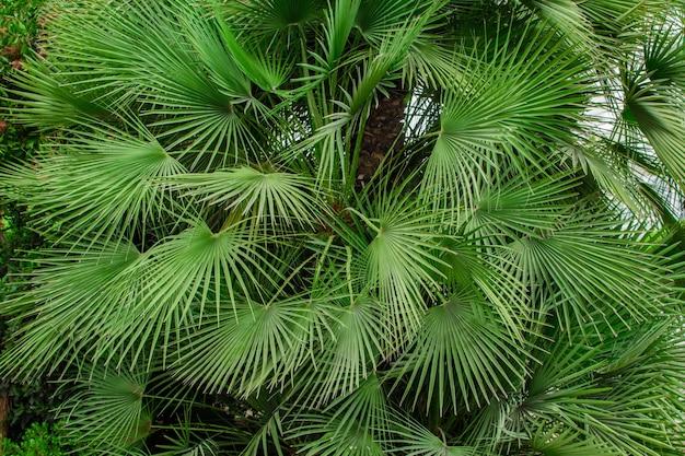 Wiele zielonych liści tropikalnej palmy z rodziny sabal minor. naturalna tropikalna powierzchnia.