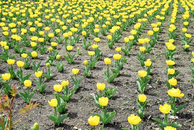 Wiele żółtych tulipanów rosnących na kwietniku