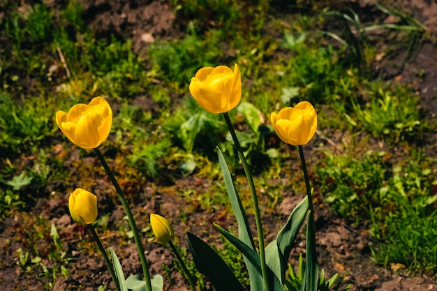 Wiele żółtych tulipanów rośnie w ziemi na tle zielonej trawy.
