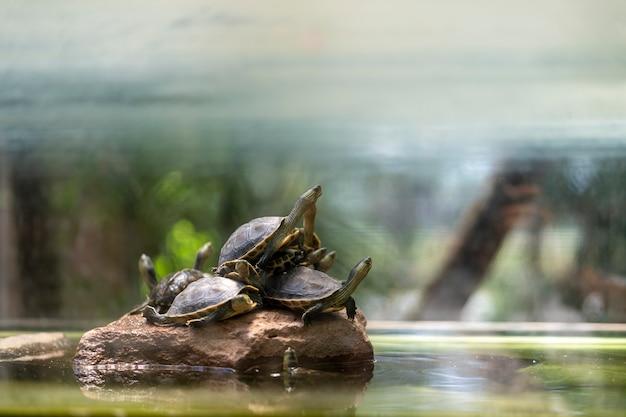 Wiele żółwi spoczywa na skałach.