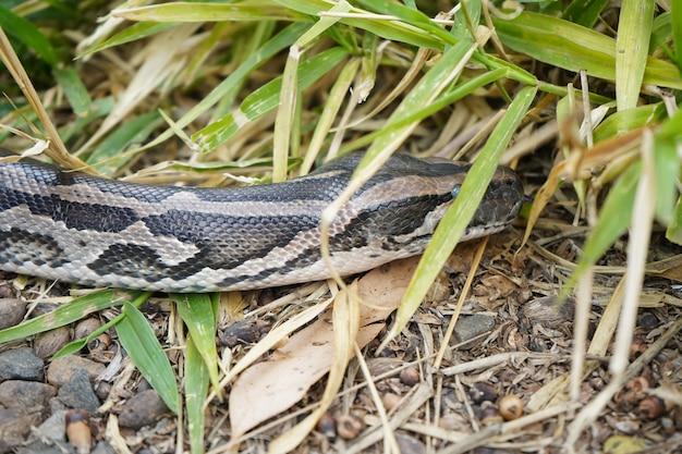 Wielka anakonda czekająca na atak w trawie
