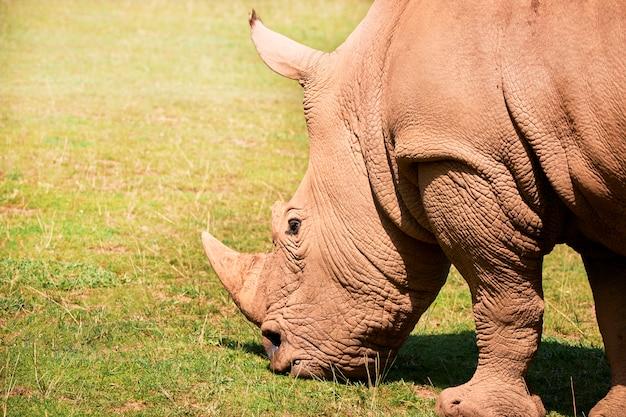 Wielka biała nosorożec je na zielonej prerii