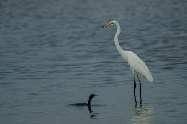 Wielka egret stoi w płytkiej zatoczce i małym kormoranie