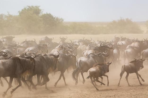 Wielka migracja gnu biegających po sawannie. park narodowy masai mara, kenia.