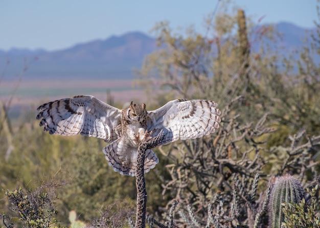 Wielka sowa rogata z rozpostartymi skrzydłami i szponami na pustyni w arizonie