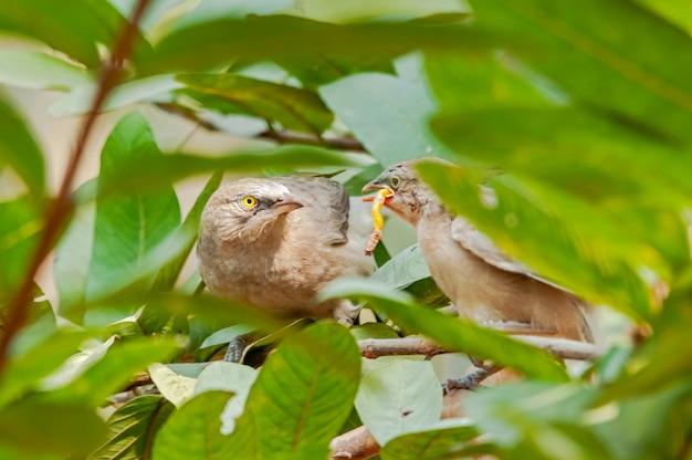 Wielka szara papla karmienia piskląt na drzewie