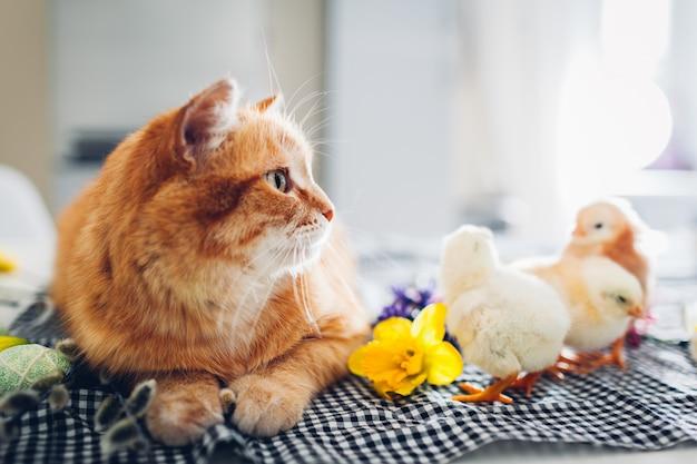 Wielkanocne zabawy kurcząt z miłym kotem