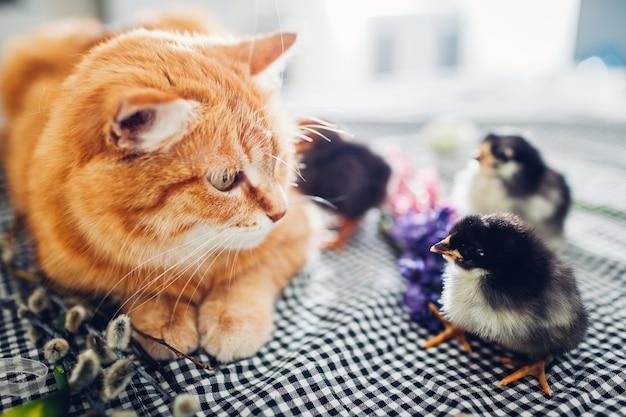 Wielkanocny kurczak bawi się z miłym kotem