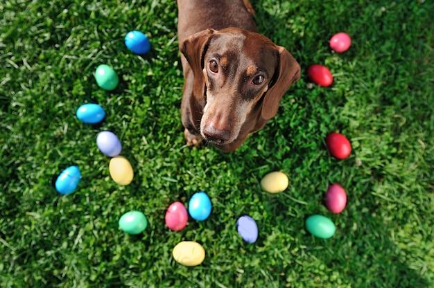 Wielkanocy martwa natura z kolorowymi jajkami i jamnikiem