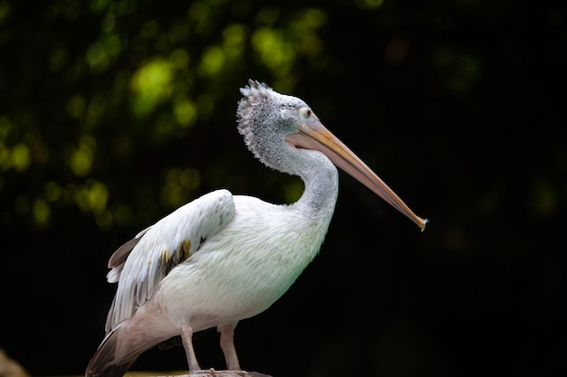 Wielki biały pelikan
