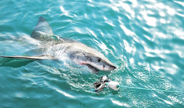 Wielki biały rekin goni za przynętą mięsną i narusza powierzchnię morza.