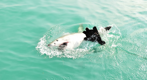 Wielki biały rekin naruszający powierzchnię morza w celu złapania przynęty mięsnej