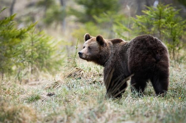 Wielki brown niedźwiedź patrzeje na boku na polanie w lesie w wiosny naturze