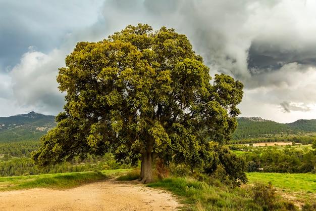 Wielki dąb ostrolistny w górach w dzień z szarymi chmurami.