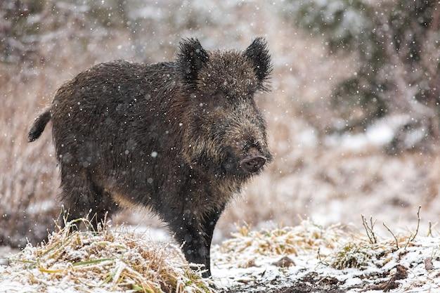 Wielki dzik chodzenie po łące w śnieżycy