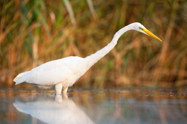 Wielki egret patrzeje w wodę w bagnie w jesieni
