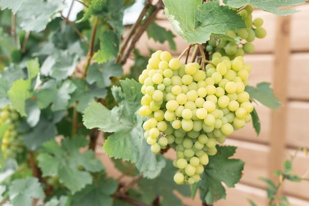 Wielki grono dojrzali zieleni winogrona na gałąź w ogródzie
