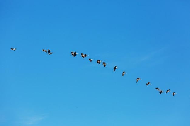 Wielki pelikan na brzegu morza