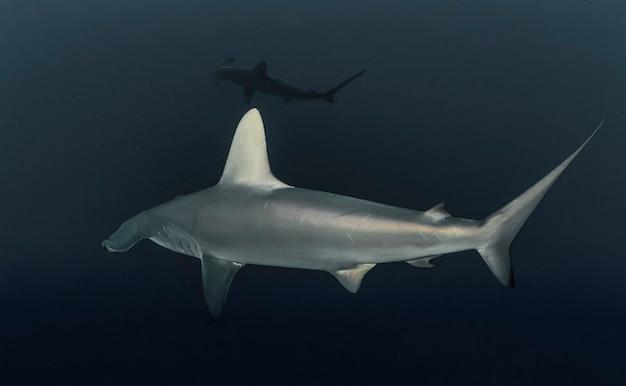 Wielki rekin młot. szkoła hammerheadów pływających w morzu czerwonym. rekiny na wolności. życie morskie pod wodą w błękitnym oceanie. obserwacja świata zwierząt. przygoda z nurkowaniem w morzu czerwonym, wybrzeże afryki