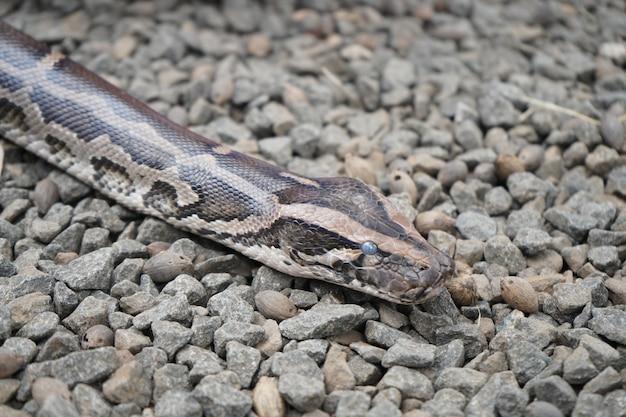 Wielki wąż pełzający po kamiennej podłodze
