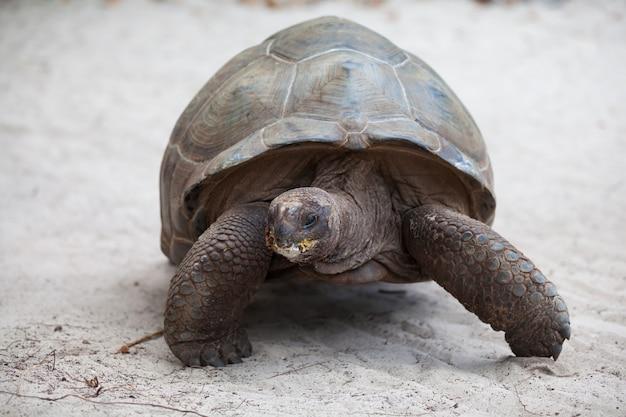 Wielki żółw na plaży na seszelach